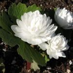 Bloodroot Dbl. white