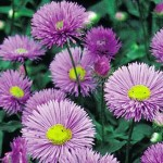 Erigeron Darkest of All