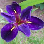 Iris lousiana Black Gamecock
