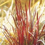 Japanese bloodgrass