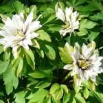 anemone-nemorosa bracteata fl.plena