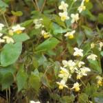 epimedium pinnatum subsp. colchicum