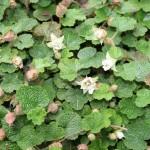 rubus calcyinoides
