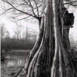 Bald cypress300