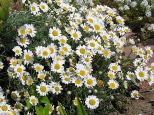 Rhodanthemum hosmariense2