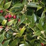 Sarcococca ruscifolia var chinensis300
