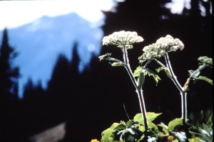 closeup of cow parsnip