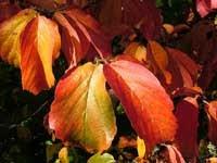 Parrotia closeup