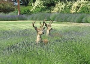 deer in lavender