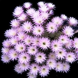 Echinopsis Multiplex easter lily oxygona300