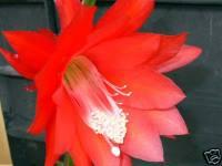 Epiphyllum ackermani200