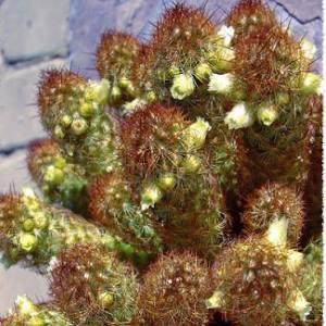 Mammillaria elongata300
