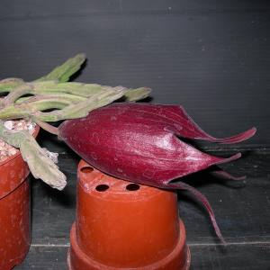 Stapelia leendertziae300