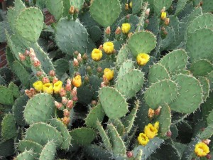 Opuntia local