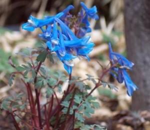 Corydalis f. Blue Heron