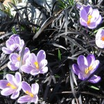 crocus in black mondo grass