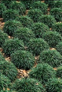 Ophiopogon jap. Nanus