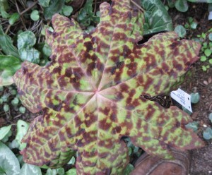 Podophyllum delavayii