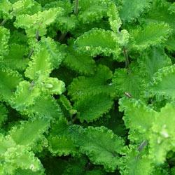 Teucrium scorodonia Crispum
