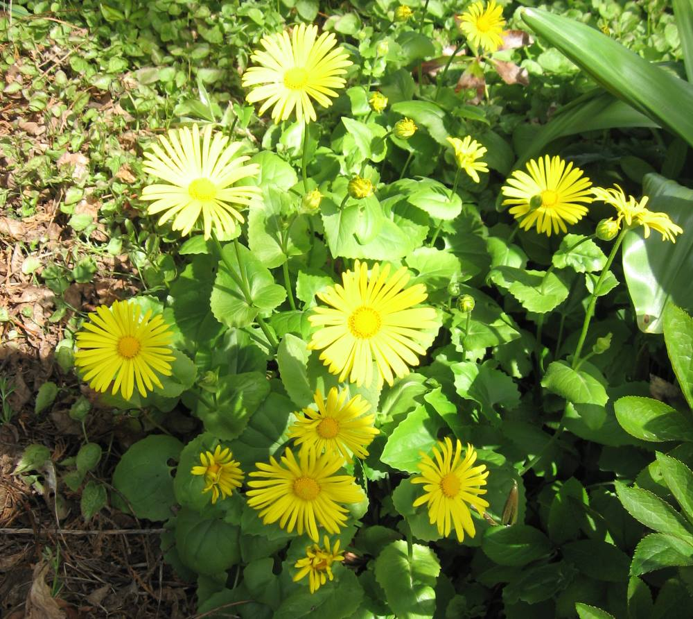 Plants beginning with the letter d doronicum leopards bane yellow daisy like flowers in spring compact habit prefers moist soils and part shade may go dormant in summer izmirmasajfo