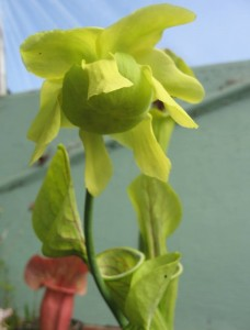 Sarreacena flower