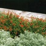Zauschneria_californica w. artemisia