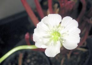 fftflower