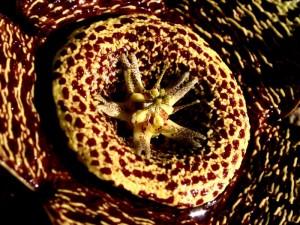 Orbea variegata2