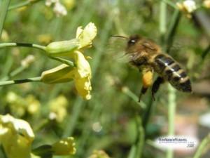honeybeeflying